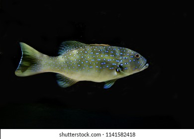 The leopard coral grouper fish on isolated black. Coral trout (Plectropomus leopardus) are the favourite target fish for the fishery because they are a good food fish and command high market prices.