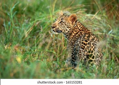 Leopard Cub in Grass