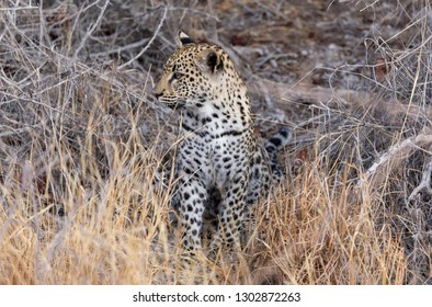 Leopard Cub in the grasses, Namibia