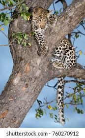 Leopard cub, Kruger National Park, South Africa