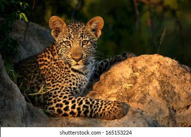 Leopard Cub on Termite Mound