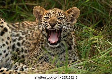 Leopard cub Snarl