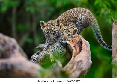 Leopard cubs playing on a dry tree in Masai Mara, Kenya. Mother: Leopard Bahati