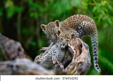 Leopard cubs (two boys) on a dry tree in Masai Mara, Kenya. Mother: Bahati