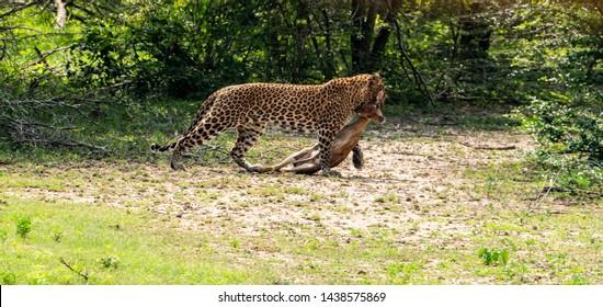 Leopard dragging a dead deer along she just killed in the Yala National park Sri Lanka