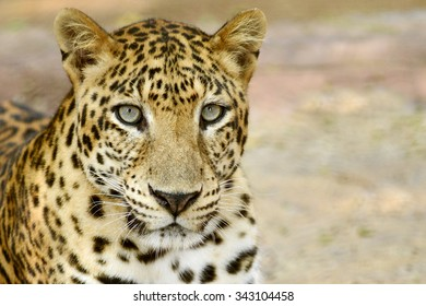 Leopard face head and eyes looking for hunting