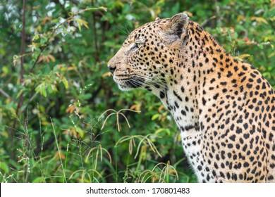 leopard face profile