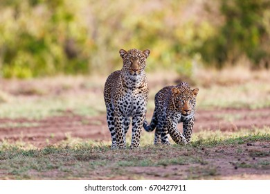 Leopard female Kaboso with cub in Masai Mara, Kenya