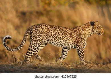 Leopard female Kaboso in morning light in Masai Mara, Kenya