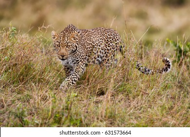 Leopard female Luluka during hunting in Masai Mara, Kenya