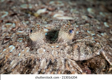 Leopard flounder Bothus pantherinus in Gorontalo, Indonesia underwater photo. Also known as panther flounder.