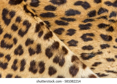 Leopard fur texture closeup for background use