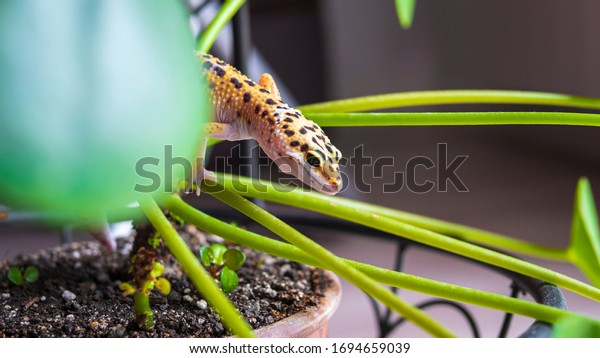 Leopard gecko climbing on a plant. Plant-eating lizard detected at home. Beautiful spotted gecko on a leaves of potted plant, houseplant.