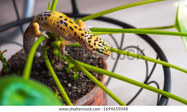 Leopard gecko climbing on a plant. Plant-eating lizard detected at home. Beautiful spotted gecko on a leaves of potted plant, houseplant. Top view.