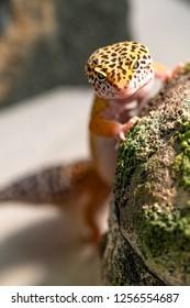 Leopard Gecko climbing rock hide