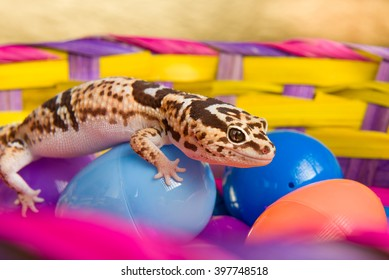 Leopard Gecko Crawling On colorful Easter Eggs