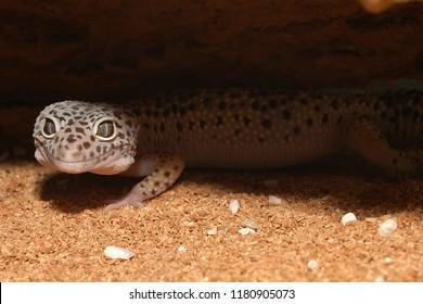 The leopard gecko Eublepharis macularius