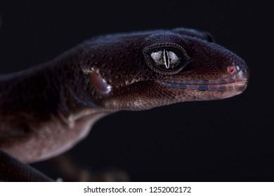 "Leopard gecko (Eublepharis macularius) ""Black knight"""