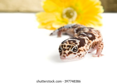 Leopard Gecko with a flower