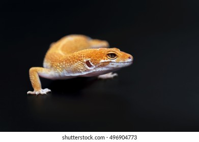 Leopard Gecko isolated on black background