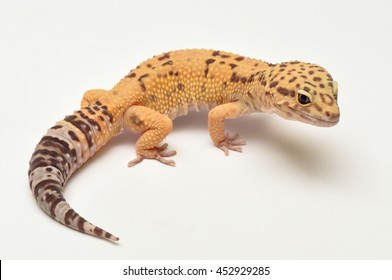 Leopard gecko lizard, close up macro.