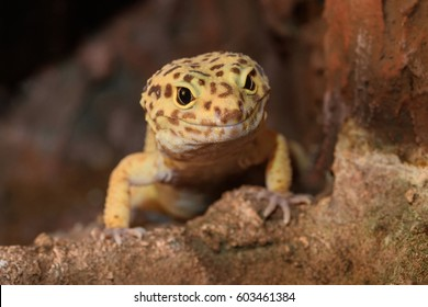 Leopard gecko lizard, close up macro. Cute Leopard gecko portrait (Eublepharis macularius). Leopard gecko on the rock.