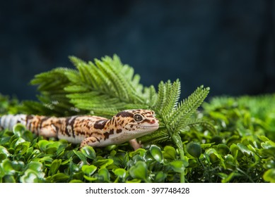 Leopard Gecko on foliage