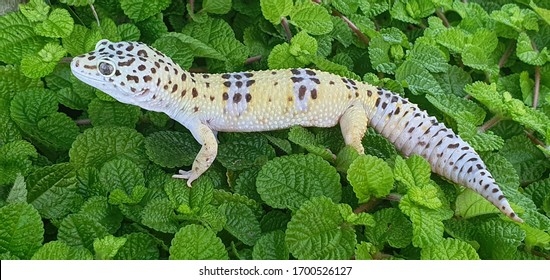 Leopard gecko on green leaves outdoor