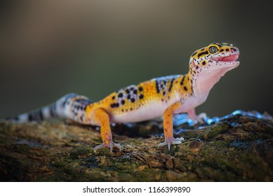 Leopard Gecko is on a tree branch