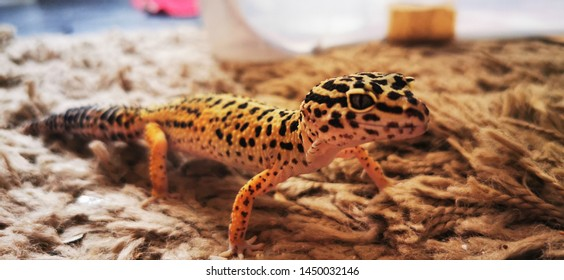 Leopard gecko pet lizard . One of the few leopard geckos I have in my collection of exotic pets . These small lizards are so tame and cute. Super cute pet lizard.