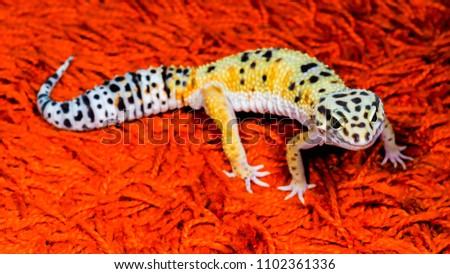 leopard geckos smile stock photo edit now 1102361336 shutterstock