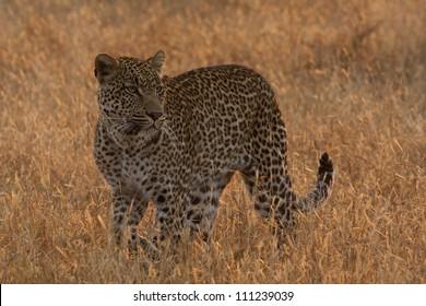 Leopard in golden light