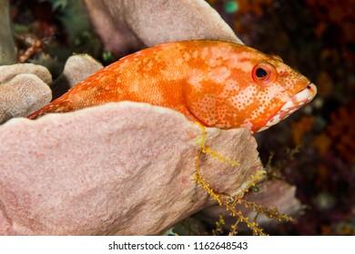 leopard grouper fish