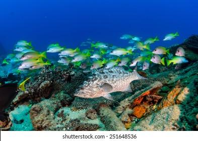 Leopard grouper (Mycteroperca rosacea), in a shipwreck, reefs of the Sea of Cortez, Pacific ocean. Cabo Pulmo National Park, Baja California Sur, Mexico. Cousteau named it The world's aquarium.