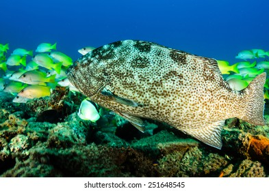 Leopard grouper (Mycteroperca rosacea), in a shipwreck, reefs of the Sea of Cortez, Pacific ocean. Cabo Pulmo National Park, Baja California Sur, Mexico. Cousteau named it The world's aquarium.