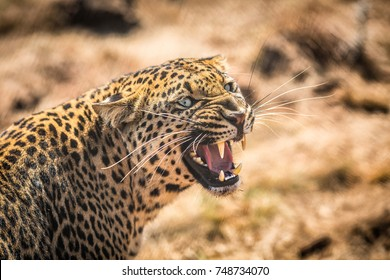 Leopard growling in the Bushveld at The Kruger National Park South Africa