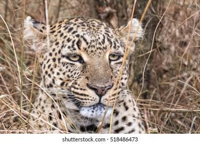 Leopard head cloaeup, Masai Mara National Reserve, Kenya, Eastern Africa