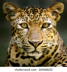 Leopard head and face looking to camera