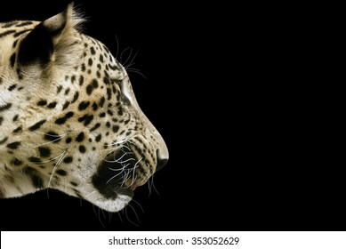 Leopard head on a black background, isolated