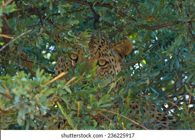 Leopard hiding in tree after killing warthog