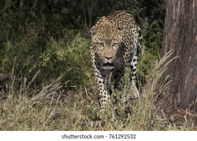 Leopard is hunting