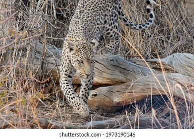 Leopard jumping in Erindi Private Game Reserve, Namibia
