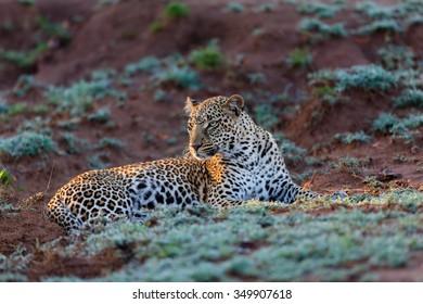 Leopard Kaboso early morning in Masai Mara, Kenya