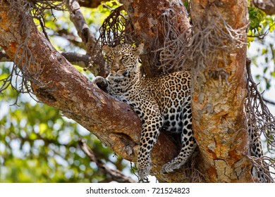 Leopard Kaboso an on tree in Masai Mara, Kenya