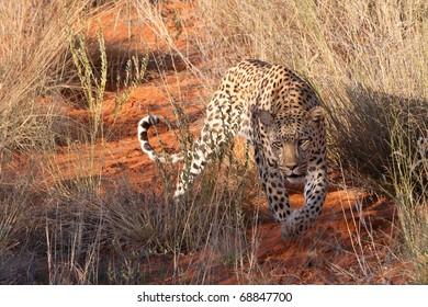 Leopard, Kalahari Desert