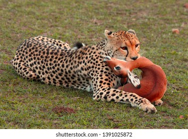 Leopard with kill deer in the jungle
