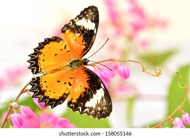 The Leopard lacewing butterfly perching on Pink Coral Vine or mexican creeper or chain of love flower
