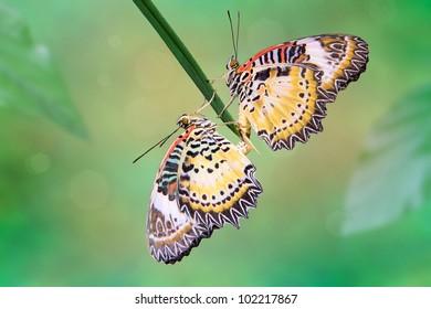 Leopard Lacewing (Cethosia cyane) butterflies