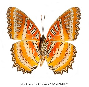 The Leopard Lacewing, Cethosia cyane, butterfly isolated on white background.