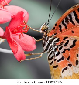 Leopard Lacewing (Cethosia cyane) eats syruo on the red flower, Thailand